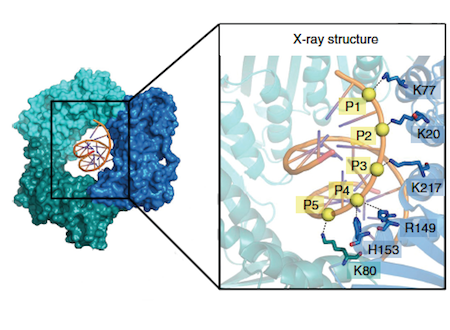 Crystal structure of PCNA bound to a 10bp DNA duplex