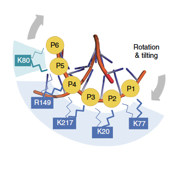 """PCNA side chains interacting with DNA</span><span style=\""""font-size: 12px; line-height: 19.2px;\"""">"""