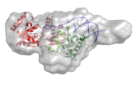 """SAXS envelope of RecQ4 in complex with DNA</span><span style=\""""font-size: 12px; line-height: 19.2px;\"""">"""