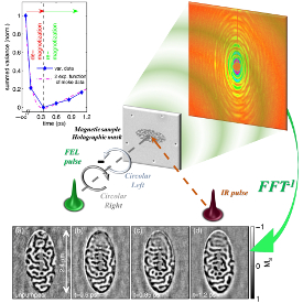 Time resolved magnetic resonant holograms of Co/Pd domains